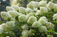 Die Rispenhortensie ist die robuste Schwester der beliebten Bauernhortensie. Sie bildet im Sommer große Blütenrispen, ist frosthärter und kommt auch mit Trockenheit besser zurecht.