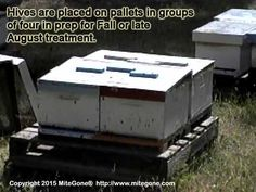 Hives are placed on pallets in groups of four in prep for Fall or late August organic varroa or tracheal mite treatment. Bee Skep, Beekeeping, Pallets, Bees, Survival, Honey, Organic, Group, Learning