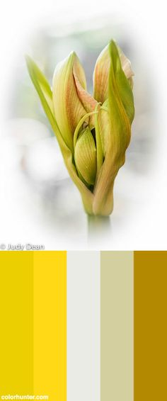 Amaryllis - Bud Breaking Color Scheme from colorhunter.com