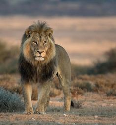 Kalahari Lion by © hendriventer Beautiful black-maned Kalahari Lion at sunrise, Mabuasehube, Botswana