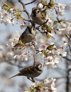 Birds & Cherry Blossoms - Japan April 5, 2012