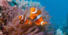 Il pesce pagliaccio è tra i più minacciati dallo sbiancamento dei coralli