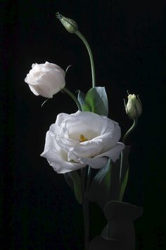 nakatugawa sei is using the world's most passionate photo sharing community. Beautiful Flower Quotes, Beautiful Flowers Pictures, Beautiful Rose Flowers, Rare Flowers, Flower Pictures, Amazing Flowers, White Tulips, White Roses, White Flowers