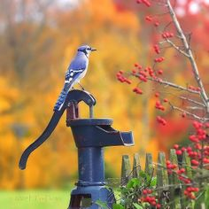I think the Blue Jay is one of our most beautiful birds. Kinds Of Birds, All Birds, Love Birds, Jay Bird, Blue Bird, Blue Jay, Pretty Birds, Beautiful Birds, Old Water Pumps