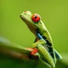 Red-Eye Tree Frog | Costa Rica