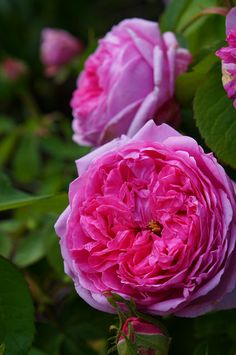 Rosa Comte de Chambord Flickr - Photo Sharing!