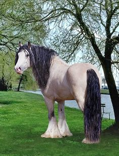 Taskin, Gypsy Vanner Stallion.  He is the sire of the baby Vanner laying in his Mom's lap in another of my photos.