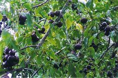 Image from http://plant.daleysfruit.com.au/ml/burdekin-plum-2047.jpeg.