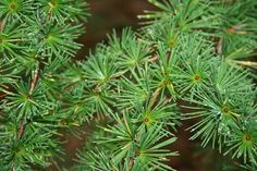 A larch incense gives us help with a new beginning. It gives us the self-confidence that we sometime