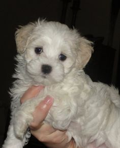 The 25 best Maltipoo haircuts Kittens And Puppies, Small Puppies, Cute Puppies, Cute Dogs, Maltese Puppies, Maltipoo Haircuts, Maltipoo Dog, Yorkie Cuts, Poodle Mix
