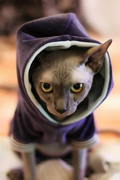 I've read that Sphynx are some of the most loving and affectionate pets you can own. Cannot wait to get my baby