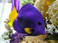 Beautiful yellow tail damsel salt water fish!!!