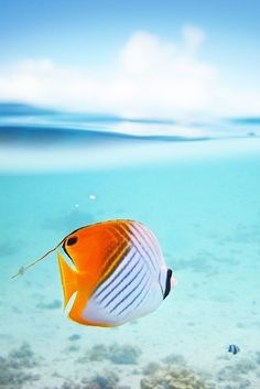 Threaded Butterfly fish