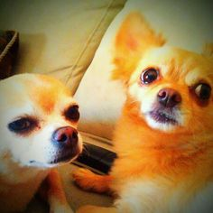 The one on the left looks exactly like Taffy! Missing my pup.