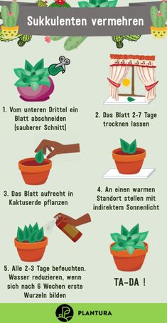 Sukkulenten vermehren: Anleitung & Experten-Tipps Succulent Plants: Guidance & Expert Tips. Succulents are not only easy to maintain, but also easy to grow. We show you how to successfully multiply different succulents. Vegetative propagation – made easy. Propagating Succulents, Growing Succulents, Cacti And Succulents, Planting Succulents, Garden Plants, Planting Flowers, Garden Soil, Vegetable Garden, Avocado Dessert