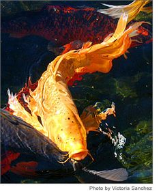 Koi in Pond Koi Art, Fish Art, Goldfish Tattoo, Cosplay Steampunk, Common Carp, Koi Painting, Goldfish Pond, Japanese Koi, Fish Ponds