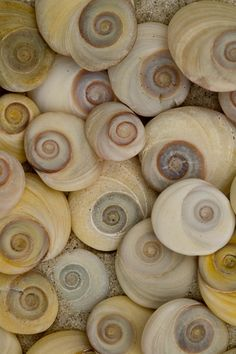"beach: New Zealand spiral shells. Called these ""cats eyes"" due to how they look when turned up other way. They are attached to the sea snails and when hiding in the shell are used to cover the hole. Patterns In Nature, Textures Patterns, Flora Und Fauna, Golden Ratio, Foto Art, Ocean Life, Sea Creatures, Sacred Geometry, Sea Glass"
