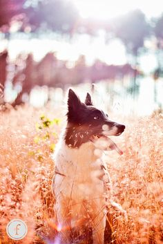 border collie photography sunset