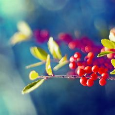 Nature Wild Fruit Branch Bokeh Blur Flare Scene #Retina #iPad #Air #wallpaper
