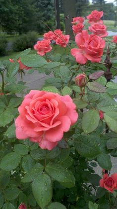 My Rose Garden from Illinois
