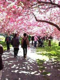 Go to a Cherry Blossom festival (Macon, GA or Washington D.C.) #wesleyancollegega #cherryblossomfestival