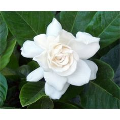 Find 140mm Gardenia augusta 'Magnifica' at Bunnings Warehouse. Visit your local store for the widest range of garden products.