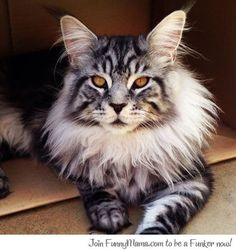 Awesome maine coon cat!