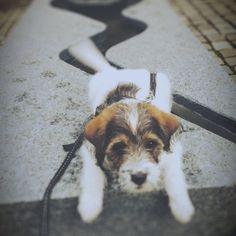 heididahlsveen:  #atsjoo knows how to do it #puppy #valp #hund #dog #iphone #instagram
