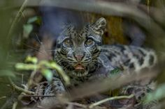 A clouded future: Asia's enigmatic clouded leopard threatened by palm oil Clouded Leopard, Love And Respect, Environmental Science, Palm Oil, Animals Beautiful, Conservation, Panther, Lion, Asia