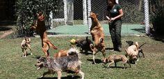Creche para cães/// Se, por um lado, donos de bichos de estimação precisam trabalhar o dia inteiro, por outro, os animais necessitam de companhia, exercício e socialização. Para solucionar este descompasso, em várias cidades brasi
