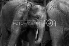 Choose your favorite photo Photo Competition, Nature Photos, Wall Prints, Wall Canvas, Elephant, Photography, Image, Photograph, Fotografie