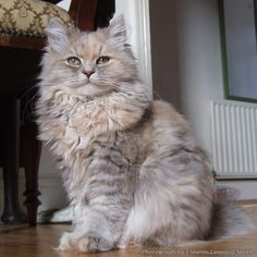 Blue Tortie Tabby Siberian Forest cat