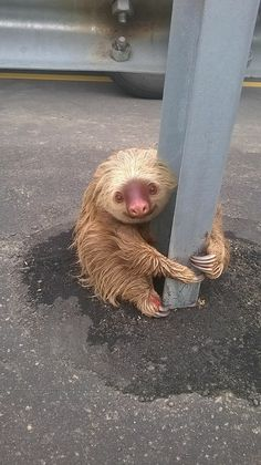 A transit police officer was patrolling an Ecuadorian highway when he noticed something unusual on the side of the road: a sloth clinging to a guard rail.