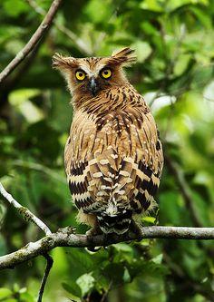 cloudyowl:  Buffy Fish Owl by chrisli023