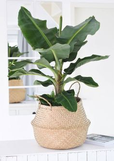 Op HomeDeco vind je de beste prijs voor een Bananenplant (Musa) en nog veel meer… At HomeDeco you will find the best price for a Banana plant (Musa) and many more house plants. Now on sale at for! Indoor Garden, Indoor Plants, Home And Garden, Herb Garden, Plantas Indoor, Banana Plants, Banana Plant Indoor, Decoration Inspiration, Decor Ideas