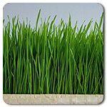 Organic Wheatgrass Shoots