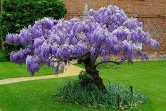 Our unique Blue Chinese Wisteria tree is one of Nature Hills Nursery best selling plants. The Blue Wisteria tree is fast growing and flows elegantly in the breeze. Order Blue Wisteria online now for the lowest price from the largest selection. Garden Vines, Outdoor Gardens, Flowering Trees, Ornamental Trees, Plants, Wisteria Tree, Planting Flowers, Garden Trees, Backyard Landscaping