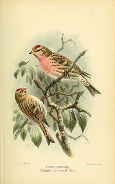 Lesser Redpoll birds