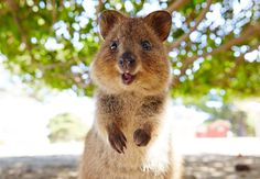 Adorable Happy Little Quokka Baby Happy Animals, Animals And Pets, Funny Animals, Cute Animals, Quokka Baby, I Want To Cuddle, Australian Animals, Little Critter, Animals Of The World