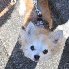 "@dekachiwa's photo: ""すこい遅い散歩をしながら、足元をみると、そのずるい目線に思わず、いいよなぁと呟きそうになりました。チワワの上目遣いってやっぱりズルい。だけど真似したら絶対やけどするので、みるだけにしておきまする。  #chihuahua #dog #dogoftheday #dogofthedayjp #dogsofinstagram #チワワ #chihuahuadog #chihuahuaofinstagram #animal"""