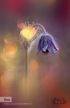 Pulsatilla Pratensis by 3DogPhoto. Please Like http://fb.me/go4photos and Follow @go4fotos Thank You. :-)