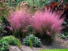 Pink Muhly Grass Care - front yard landscaping ideas for full sun Ornamental Grasses For Shade, Ornamental Grass Landscape, Landscape Grasses, Evergreen Landscape, Full Sun Landscaping, Front Yard Landscaping, Landscaping Ideas, Landscaping With Grasses, Acreage Landscaping