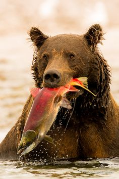 Photograph Success... by Lionel Maye on 500px bear with salmon