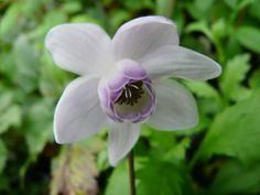 Anemonopsis macrophylla - Choice woodland plant forms clumps of cimicifuga-like…