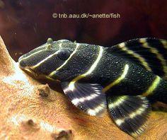 Starlight Pleco | Flash Pleco, Panaque sp. L204