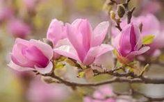 tavaszi virágok - Google-keresés Rose, Google, Flowers, Plants, Pink, Plant, Roses, Royal Icing Flowers, Flower