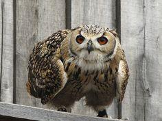 Rock Eagle Owl by hans s. via Flickr
