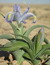 Iris bulbous type. Iridaceae. Early blooming. plant in fall. Bulbous species have cylindrical basal leaves