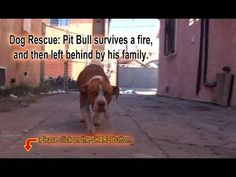 Pit Bull survives a fire, and then left behind by his family.  Please Sh...
