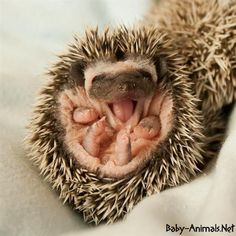 baby hedgehog-Like a pinecone with personality.